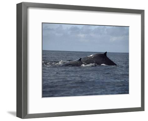Mother and Calf Humpback Whales with Backs Arched Out of the Water-Paul Sutherland-Framed Art Print