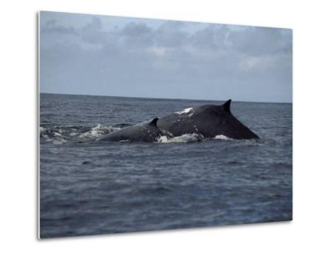 Mother and Calf Humpback Whales with Backs Arched Out of the Water-Paul Sutherland-Metal Print