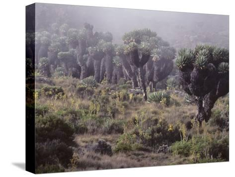 Lalibela Trees on the Slope of Mount Kilimanjaro, East Africa-Skip Brown-Stretched Canvas Print