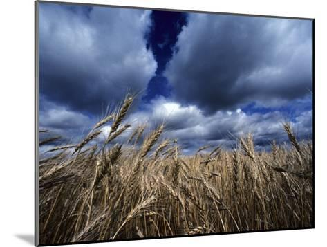 Golden Heads of Wheat in a Field under a Vast, Turbulent Sky-Annie Griffiths Belt-Mounted Photographic Print