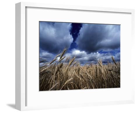 Golden Heads of Wheat in a Field under a Vast, Turbulent Sky-Annie Griffiths Belt-Framed Art Print