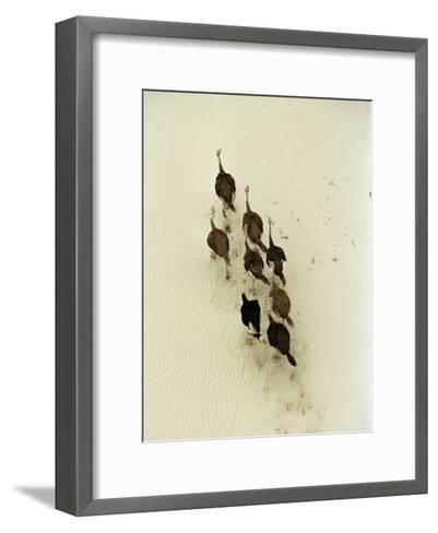 Ostriches Crossing the Makgadikgadi Salt Pans-Bobby Haas-Framed Art Print