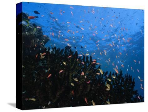 Reef Scenic with Multitudes of Colorful Fish-Paul Sutherland-Stretched Canvas Print