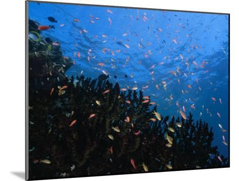 Reef Scenic with Multitudes of Colorful Fish-Paul Sutherland-Mounted Photographic Print