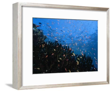 Reef Scenic with Multitudes of Colorful Fish-Paul Sutherland-Framed Art Print