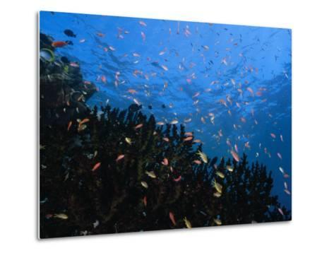 Reef Scenic with Multitudes of Colorful Fish-Paul Sutherland-Metal Print