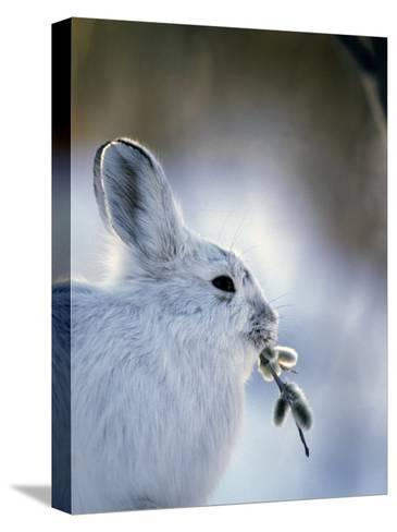 Snowshoe Hare (Lepus Americanus) Slana, Alaska-Michael S^ Quinton-Stretched Canvas Print