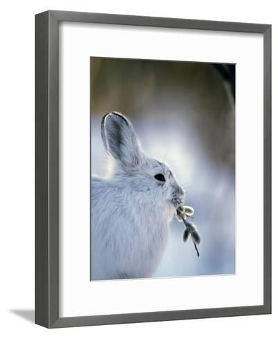 Snowshoe Hare (Lepus Americanus) Slana, Alaska-Michael S^ Quinton-Framed Art Print