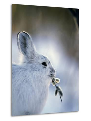 Snowshoe Hare (Lepus Americanus) Slana, Alaska-Michael S^ Quinton-Metal Print