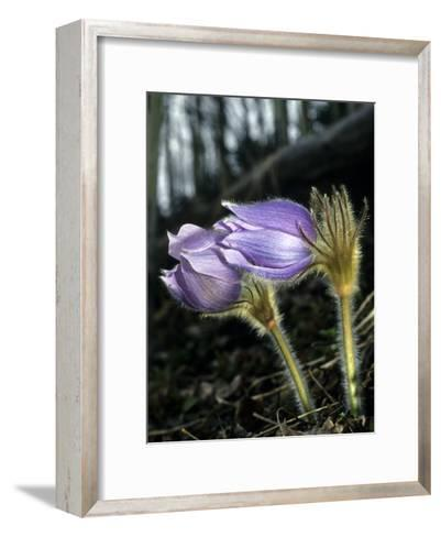 Pasque Flower Grows in Open, Exposed Slopes Early in Spring-Michael S^ Quinton-Framed Art Print