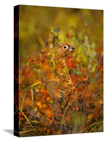 Willow Ptarmigan in Fall Foliage, Denali National Park, Alaska-Michael S^ Quinton-Stretched Canvas Print