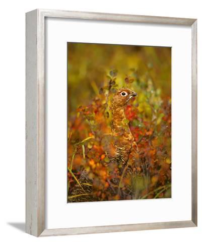 Willow Ptarmigan in Fall Foliage, Denali National Park, Alaska-Michael S^ Quinton-Framed Art Print