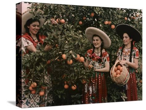 Mexican Women in Native Clothing Pick Oranges-B^ Anthony Stewart-Stretched Canvas Print