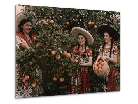 Mexican Women in Native Clothing Pick Oranges-B^ Anthony Stewart-Metal Print