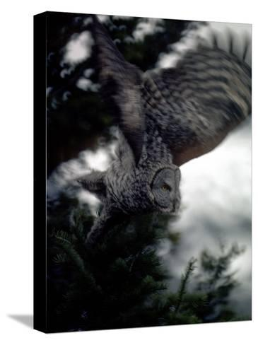 Great Gray Owl Takes Flight in Yellowstone National Park, Wyoming-Michael S^ Quinton-Stretched Canvas Print