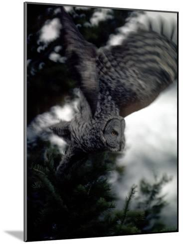 Great Gray Owl Takes Flight in Yellowstone National Park, Wyoming-Michael S^ Quinton-Mounted Photographic Print
