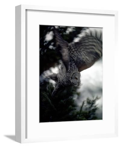Great Gray Owl Takes Flight in Yellowstone National Park, Wyoming-Michael S^ Quinton-Framed Art Print