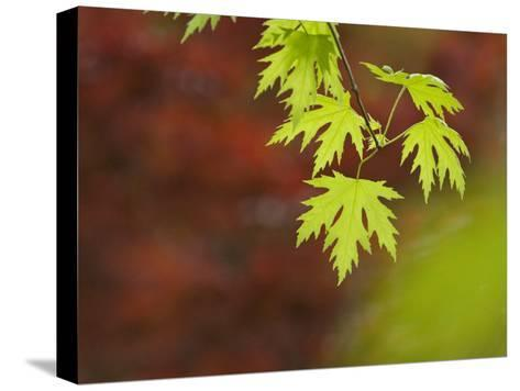 Backlit Maple Leaves on a Branch-Greg Dale-Stretched Canvas Print