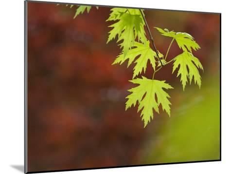 Backlit Maple Leaves on a Branch-Greg Dale-Mounted Photographic Print