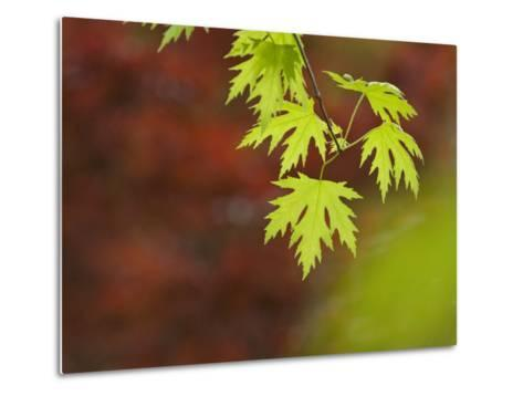 Backlit Maple Leaves on a Branch-Greg Dale-Metal Print