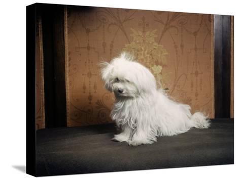 Portrait of a Maltese Dog-Willard Culver-Stretched Canvas Print