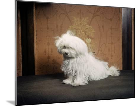 Portrait of a Maltese Dog-Willard Culver-Mounted Photographic Print