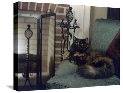 Tortoiseshell Persian Cat Reclines on a Sofa-Willard Culver-Stretched Canvas Print