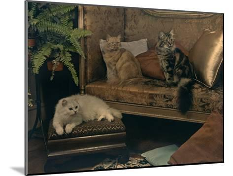 Trio of Persian Cats Recline on the Furniture-Willard Culver-Mounted Photographic Print