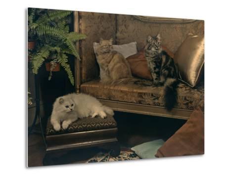 Trio of Persian Cats Recline on the Furniture-Willard Culver-Metal Print