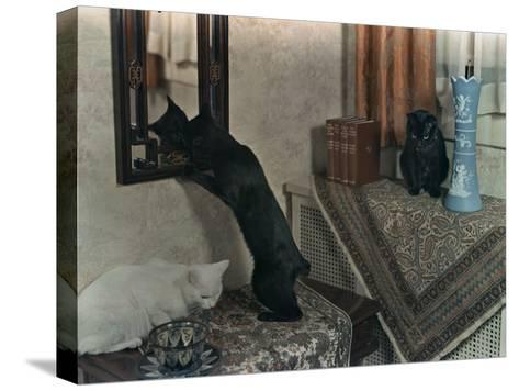 Trio of Tailless Manx Cats Play on House Furniture-Willard Culver-Stretched Canvas Print