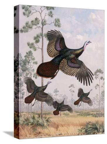 Flushed Out of Hiding, Wild Turkeys Take Flight Near Tall Pine Trees-Walter Weber-Stretched Canvas Print