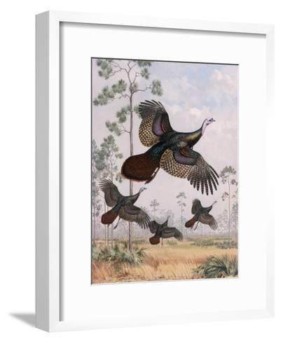 Flushed Out of Hiding, Wild Turkeys Take Flight Near Tall Pine Trees-Walter Weber-Framed Art Print