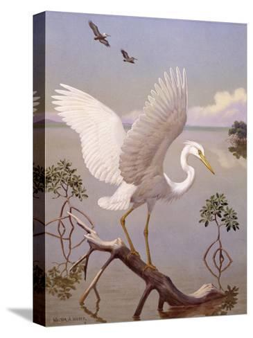 Great White Heron, White Morph of Great Blue Heron, Spreads its Wings-Walter Weber-Stretched Canvas Print