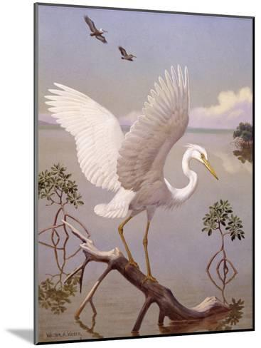 Great White Heron, White Morph of Great Blue Heron, Spreads its Wings-Walter Weber-Mounted Photographic Print