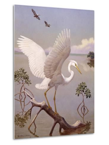Great White Heron, White Morph of Great Blue Heron, Spreads its Wings-Walter Weber-Metal Print
