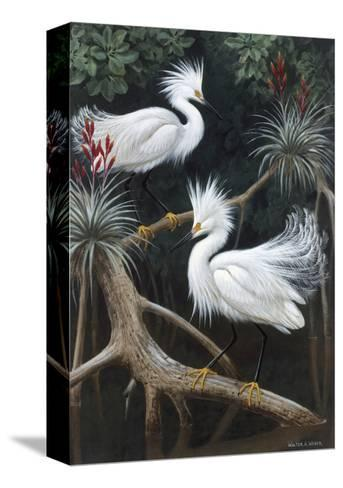 Snowy Egrets Display their Courtship Plumage in a Mangrove Swamp-Walter Weber-Stretched Canvas Print
