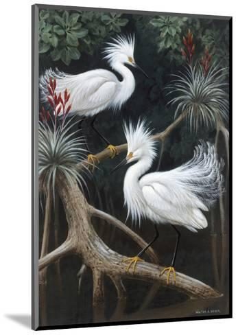 Snowy Egrets Display their Courtship Plumage in a Mangrove Swamp-Walter Weber-Mounted Photographic Print