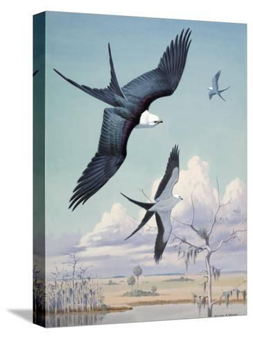 Three Swallow-Tailed Kite Birds Soar over Southern Swamp Land-Walter Weber-Stretched Canvas Print