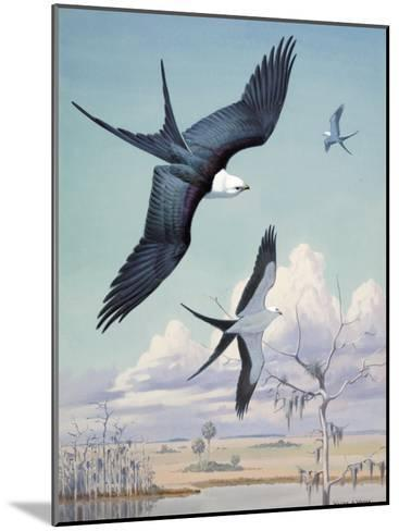 Three Swallow-Tailed Kite Birds Soar over Southern Swamp Land-Walter Weber-Mounted Photographic Print