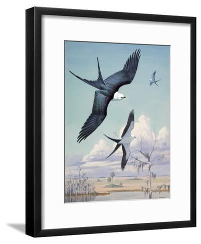 Three Swallow-Tailed Kite Birds Soar over Southern Swamp Land-Walter Weber-Framed Art Print