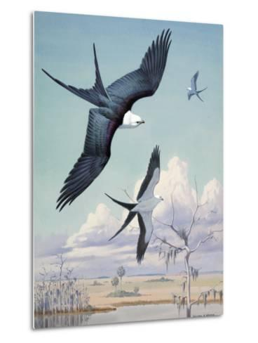Three Swallow-Tailed Kite Birds Soar over Southern Swamp Land-Walter Weber-Metal Print