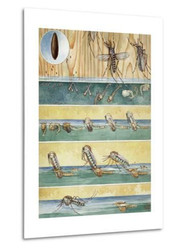 Life Cycle of Aedes Aegypti, the Mosquito That Carries Yellow Fever-Hashime Murayama-Metal Print