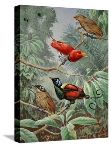 Two King Birds of Paradise Perch Above Two Wilson's Birds of Paradise-Walter Weber-Stretched Canvas Print