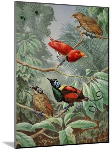 Two King Birds of Paradise Perch Above Two Wilson's Birds of Paradise-Walter Weber-Mounted Photographic Print