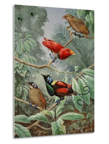 Two King Birds of Paradise Perch Above Two Wilson's Birds of Paradise-Walter Weber-Metal Print