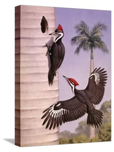 Pair of Pileated Woodpeckers Nest in a Dead Royal Palm Tree-Walter Weber-Stretched Canvas Print