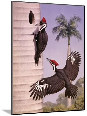 Pair of Pileated Woodpeckers Nest in a Dead Royal Palm Tree-Walter Weber-Mounted Photographic Print