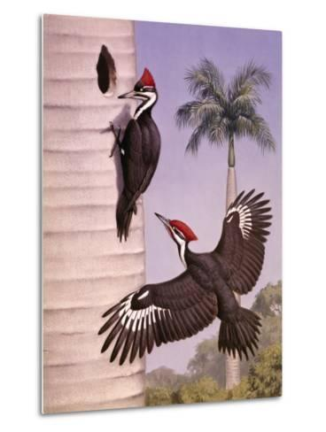 Pair of Pileated Woodpeckers Nest in a Dead Royal Palm Tree-Walter Weber-Metal Print