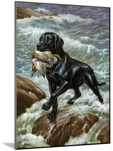 Labrador Retriever Climbs from Surf with Dead Duck in its Jaws-Walter Weber-Mounted Photographic Print