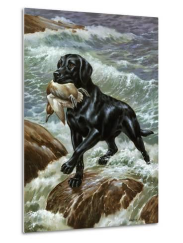 Labrador Retriever Climbs from Surf with Dead Duck in its Jaws-Walter Weber-Metal Print